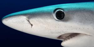UliKunz Shark
